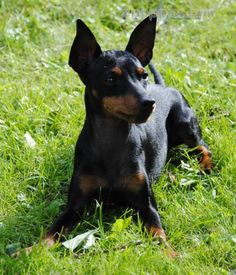 English Toy Terrier (Black and Tan) dog breed description and characteristics Dog Breeds Pictures, Dog Photos, Manchester Terrier, Boston Terrier, Black And Tan Terrier, Fabulous Beasts, English Toy Terrier, English Dogs, Teacup Puppies