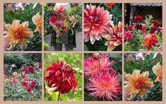 marieke nolsen Dahlia, Plants, Blog, Gardening, Dahlias, Blogging, Plant, Planting, Planets