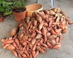 Sweet potatoes are one of the easiest to grow vegetables, provided you have the right climate.   Florida is perfect for sweet potatoes. T...