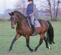 Saxony-Thuringian Heavy Warmblood stallion Edgar