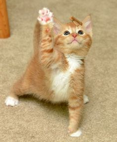 Attack Cat In Training | Cutest Paw