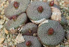 Conophytum obcordellum ssp. ceresianum
