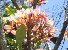 Aposte na Jasmim Manga se o seu jardim passa por ventos fortes | Jardim das Ideias STIHL - Dicas de jardinagem e paisagismo