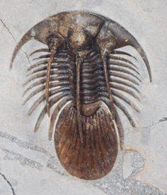 Trilobite du genre Kolihapeltis, Musée Victoria de Melbourne. Dévonien précoce du Maroc
