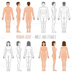 Human Body Male and Female royalty-free human body male and female stock vector art & more images of the human body 384213411956886018 Girl Anatomy, Body Anatomy, Anatomy Drawing, Human Anatomy, Male Character, Character Modeling, Character Design, Human Body Drawing, Human Art