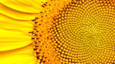 The famous Fibonacci sequence has captivated mathematicians, artists, designers, and scientists for centuries. Also known as the Golden Ratio, its ubiquity and astounding functionality in nature suggests its importance as a fundamental characteristic of the Universe.
