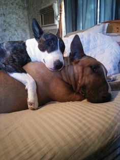 My dogs Harley and Rocko. Bull terriers <3