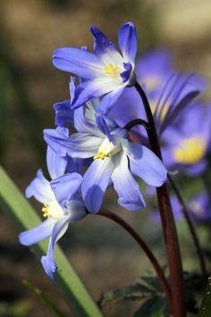 Camassia leichtlinii (Leichtlin-Prärielilie) -