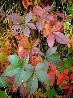 Parthenocissus quinquefolia (Virginia Creeper) in autumn