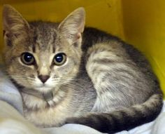 Francesca: Time's up for 3-month-old tabby beauty at high-kill SC shelter