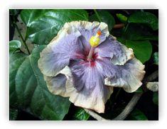 Hibiscus Donna Lynn, Kaleidoscope, Jim Berry. Album photos 6