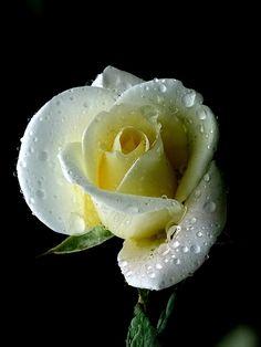 Rose by Orange Leaf, via Flickr