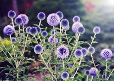 Echinops .. Globe Thistle.  Appears to bloom forever because the seed head is as pretty as the bloom.  Non-invasive.