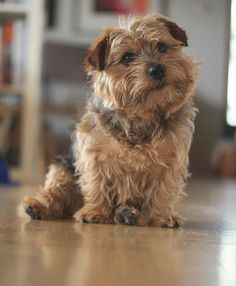 My friend Kvikk Norfolk Terrier, Norwich Terrier, Border Terrier, Cairn Terrier, Cute Dogs Breeds, Dog Breeds, Animals And Pets, Cute Animals, Toto