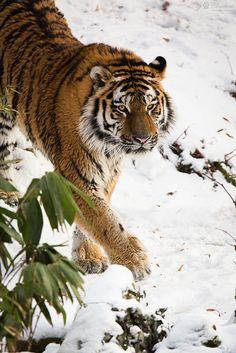 Amur tiger   by Cloudtail the Snow Leopard