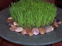 plant wheatgrass in long white planter for counter decoration. do 10 days before