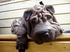 Fold Life | The Most Scrumptiously Wrinkly Dogs On The Internet -=- LOOKS LIKE A HIPPO