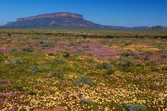 If you think Africa is all about the desert, you should meet Namaqualand, on the border of South Africa and Namibia. After the rain period in August, lots of daisies bloom in this famously arid place. It's a pretty sight! South African Flowers, Succulent Species, Western Coast, All Nature, East Africa, Rest Of The World, Scenery, Explore, Places