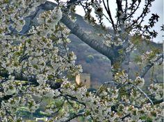 Cerezos en flor de Corullón. León. Castilla y León