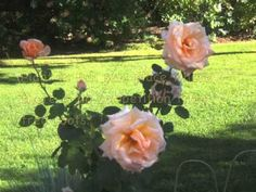 10 tips for growing roses (video)