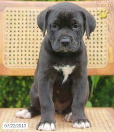 Labrador Retriever Mix Puppies