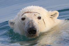 """Svalbard Polar Bear"" Photo taken by John D. #OceanwideExpeditions #PhotoContest"