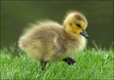 Baby Canada Goose, called Goslings.