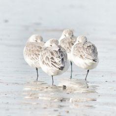 Drieteenstrandlopers - Vogels - Drieteenstrandloper