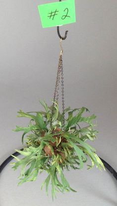 Dollhouse miniature 1/12th scale hanging staghorn fern