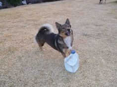Here is Molly with one of her most favourite toys ! !    This is an empty plastic jug with a few small rocks inside; I use them to de-sensitize horses by shaking and rattling them.  But, Molly stocks them up for her personal collection of toys ....  so much fun