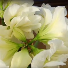 October is the perfect time to pot up amaryllis bulbs for indoor blooms during the holidays. Do you have it on your to-do list too? #gardenchat #sharethebounty #vanbloem #joy #gardening #iloveflowers #joy #comeseeus