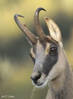 ) is a goat-antelope genus native to mountains in Europe, Animals With Horns, Types Of Animals, Animals Of The World, Animals And Pets, Baby Animals, Cute Animals, Primates, Mammals, Beautiful Creatures