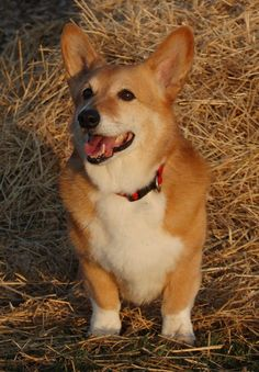 Timmy, a rescue Corgi with a lot of sheepherding awards to his name!