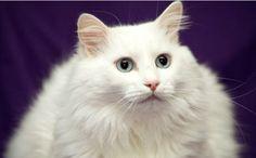 Foto cantik & lucu kucing anggora turki