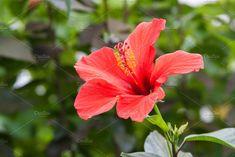 Hibiscus by TalyaPhoto on @creativemarket