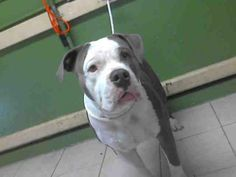 OPIE - URGENT - L.A. COUNTY ANIMAL CARE CONTROL: CARSON SHELTER in Gardena, CA - Adult Male Pit Bull Terrier Mix