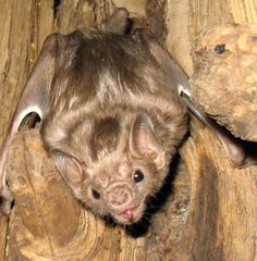 Hairy-legged vampire bat (Diphylla ecaudata centralis) is one of three extant species of vampire bats. Despite the common conception of vampires feeding only on mammals, it mainly feeds on the blood of birds. It is found from western Panama to Mexico.