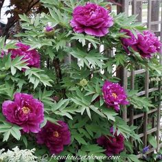 Japanese Tree Peony - Pluto If you are looking for shade loving shrubs to fill the space between taller trees and low-growing perennials, this list of beautiful bushes will help. Shade Loving Shrubs, Shade Shrubs, Shade Garden Plants, Blue Plants, Spring Plants, Garden Shrubs, Shade Perennials, Flowering Shrubs, Best Shrubs For Shade