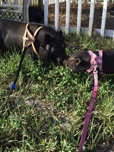 43 best Mini Pig Harness Options images on Pinterest   Dog harness