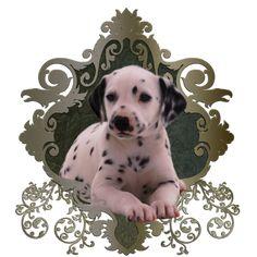 Cute dalmatian by Nicky