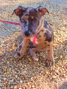 The Louisiana state dog, a Catahoula puppy - I WANT!