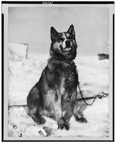 'Chris' a Sledge dog from Antarctic expedition c. 1910