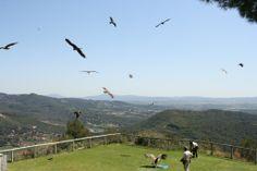Vol lliure de rapinyaires al centre Cim d'Àligues de Sant Feliu de Codines (Barcelona)Spain