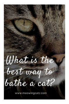 Do You Really Need To Bathe A Cat Time To Give Your Cat A Bath Learn The Best Plan For Bathing Your Cat Or Kitten Cat Cat Training Cat Care