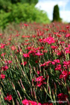 Engnellik, Dianthus deltoides 'Brilliant' somdenvi harheter på latin, -bærer virkelig navnet med ...