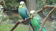Parkieten op Volierevogels-Online.nl
