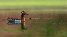 Spot billed duck  by Vishwa Kiran on 500px