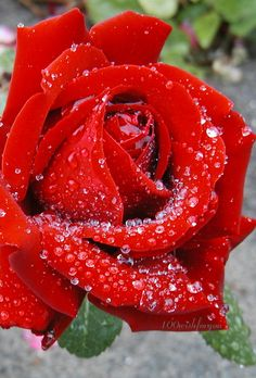 Raindrops on a rose ✿⊱╮