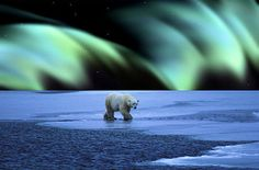 Previous pinner: Polar bear with the Northern Lights in the background. Beautiful. Me: Fake.