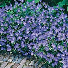Blue wild geranium. Planted in the front garden. Mounds beautifully. Flowers all summer and fall.